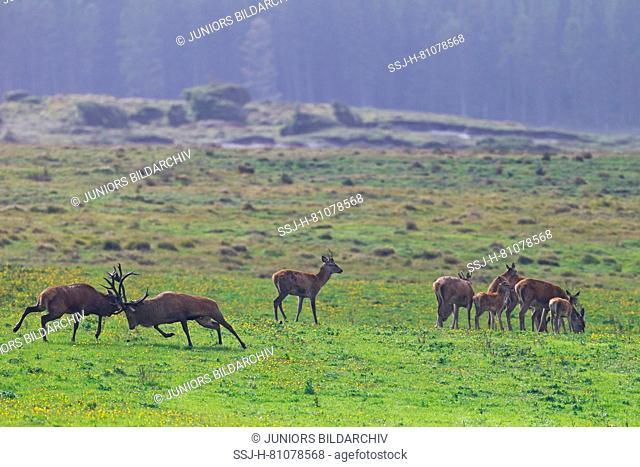 Red Deer (Cervus elaphus). Suddenly two stags start a fight. Denmark