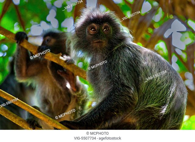 A troupe of SILVER BACKED LEAF MONKEY or SILVERY LUTUNG in BAKO NATIONAL PARK which is located in SARAWAK - BORNEO, MALAYSIA - USA, 10/04/2014