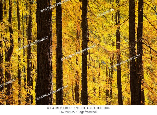 larch trees, Larix, Larch, Switzerland
