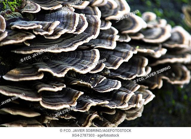 hongos en el tronco de un árbol - Erratzu. Baztán - Navarra. Pirineos. Spain