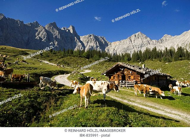 Cows grazing on the Ladiz-Alm alpine pasture, Karwendel Range, Tyrol, Austria, Europe