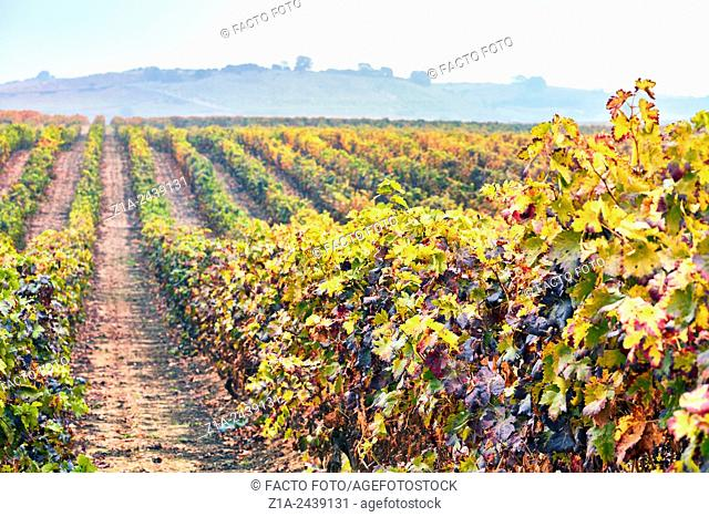Rows of vines in a vineyard. Rioja alavesa wine route. Alava. Basque country. Spain