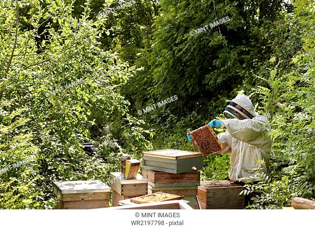 A beekeeper inspecting the bee hives in an allotment garden plot