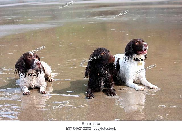 Working type English springer and cocker spaniels on a beach