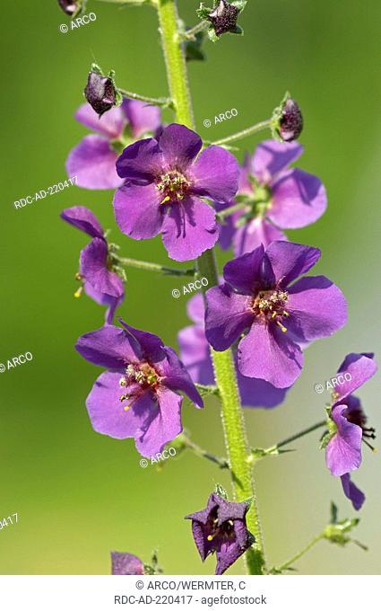 Purple Mullein, Verbascum phoeniceum