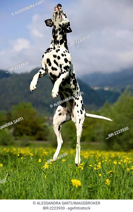 Dalmation jumping into the air, North Tyrol, Austria, Europe