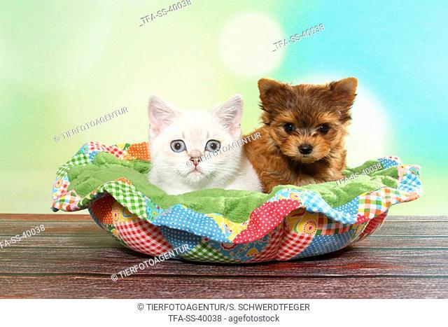 British Shorthair Kitten and Yorkshire Terrier Puppy