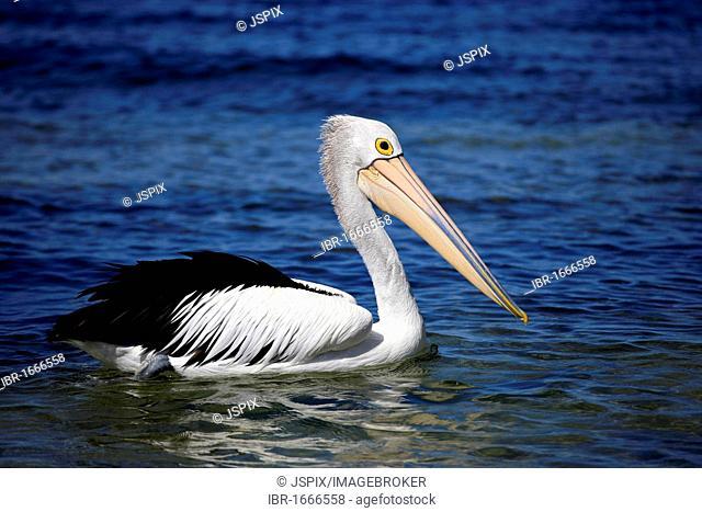 Australian Pelican (Pelecanus conspicillatus), adult swimming in the sea, Kingscote, Kangaroo Island, Australia