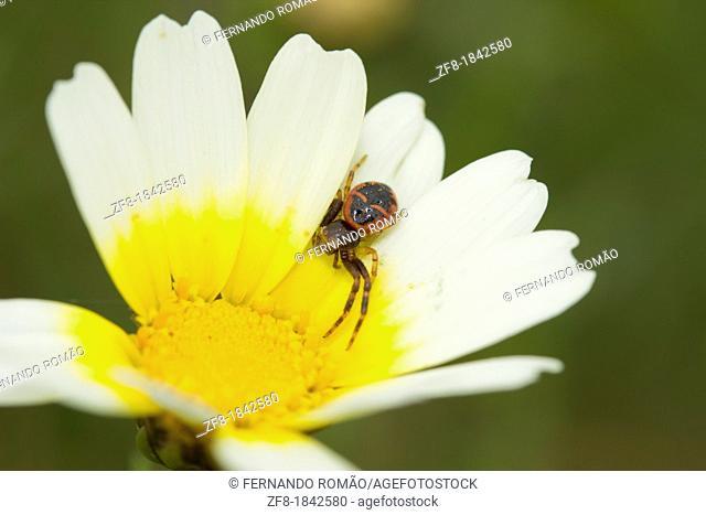 Spider on flower at Estrela Mountain Natural Park, Portugal
