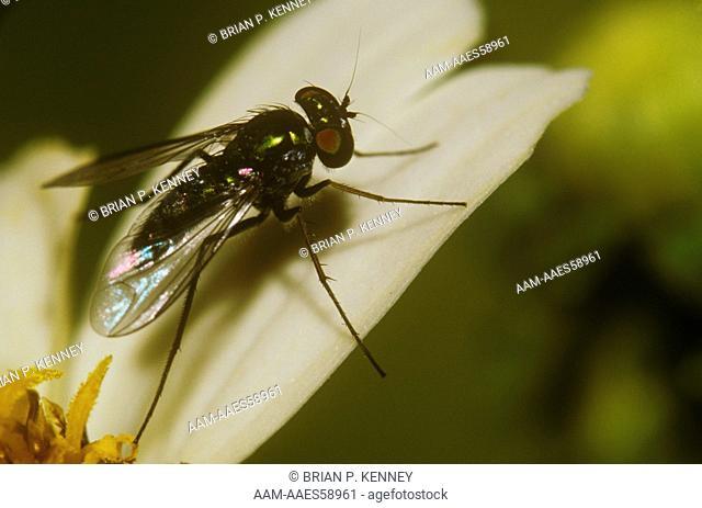 Long-legged Fly on Spanish Needles, Florida, family: Dolichopodidae