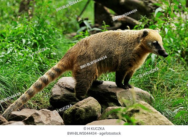 coatimundi, common coati, brown-nosed coati Nasua nasua, standing on a rock