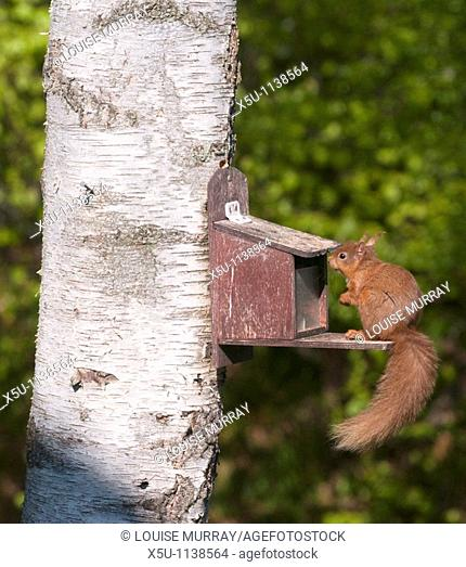 15- 18 May 2010 Red squirrel at bird feeder in the garden of Cecilia Rogers, 54, a volunteer for over ten years with Grampian Red Squirrel Group  Before greys...