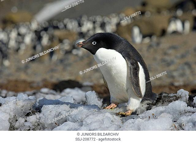 Adelie Penguin (Pygoscelis adeliae). Adult standing on dirty ice. Antarctica. No exclusive sales !