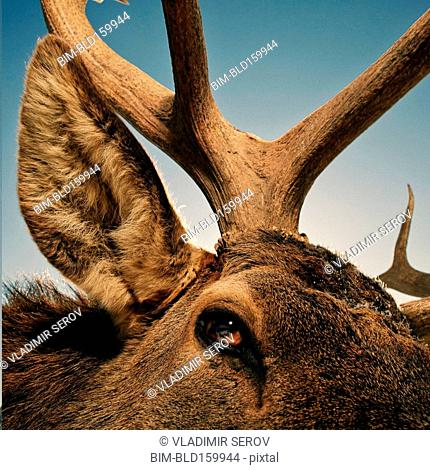 Close up of eye, ear and antler of elk