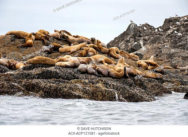 Sea lions (Eumetopias jubatus) off the coast of Ucluelet, Vancouver Island, BC Canada