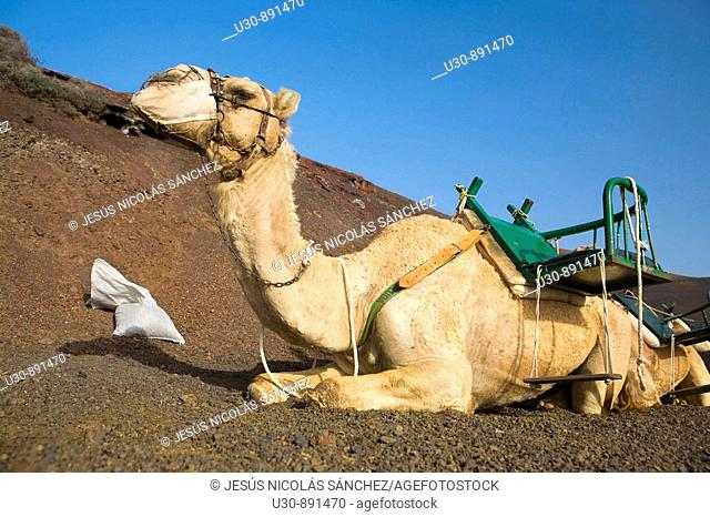 Dromedary  Camels  Tourist attraction in the Timanfaya National Park  Fire Montain  Yaiza  Lanzarote  Las Palmas province  Canarias  Canary island  Spain