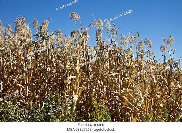 Chile, San Pedro de Atacama, Ayllu de Coyo, corn field