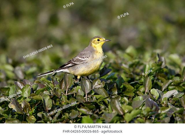 Citrine Wagtail (Motacilla citreola) immature female, first winter plumage, perched on vegetation, Long Valley, New Territories, Hong Kong, China, January