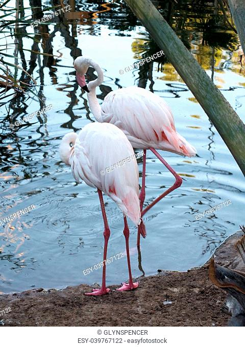 Greater Flamingos (Phoenicopterus roseus) are the largest member of the flamingo family and they are the most widespread