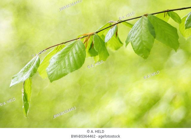 common beech (Fagus sylvatica), twig with young leaves and dew drops, Germany, Baden-Wuerttemberg, Odenwald