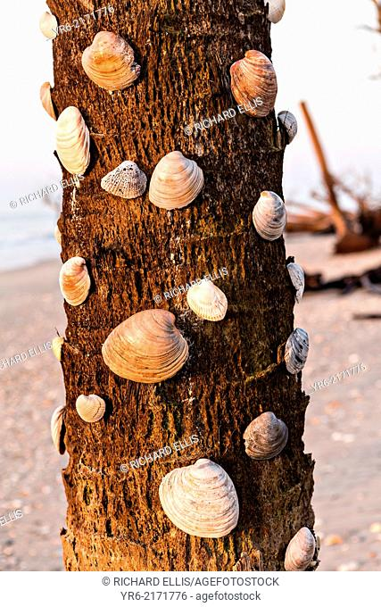 Shells decorate a driftwood palm tree along Boneyard Beach at Botany Bay, Edisto Island, South Carolina. Due to natural beach erosion the coastal forest is...