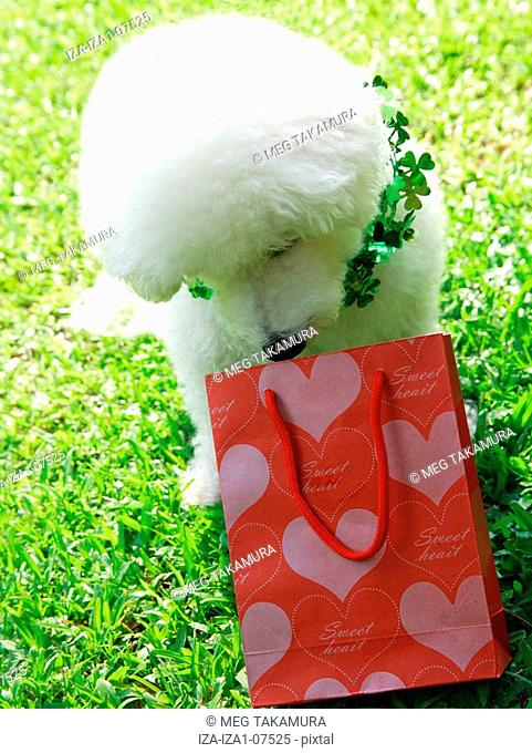 Bichon Frise sitting on grass and smelling at a shopping bag