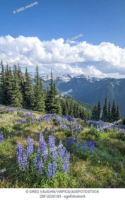 Lupine and Bailey Range Mountains, from Obstructuion Point Road, Olympic National Park, Washington, USA