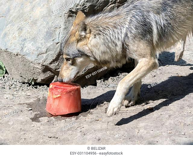 Environmental enrichment for gray wolf (Canis lupus) with bloody ice cream in summer