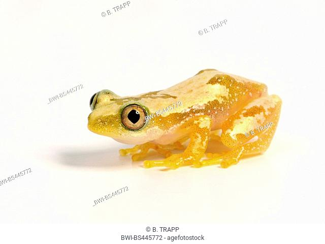 African banana frog, Uluguru banana frog (Afrixalus uluguruensis), cutout