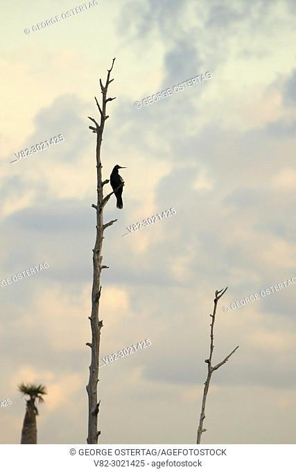 Anhinga (Anhinga anhinga) silhouette, Ritch Grissom Memorial Wetlands at Viera, Florida