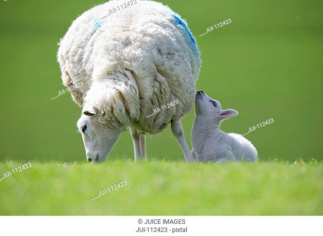 Lamb and grazing sheep in green spring field