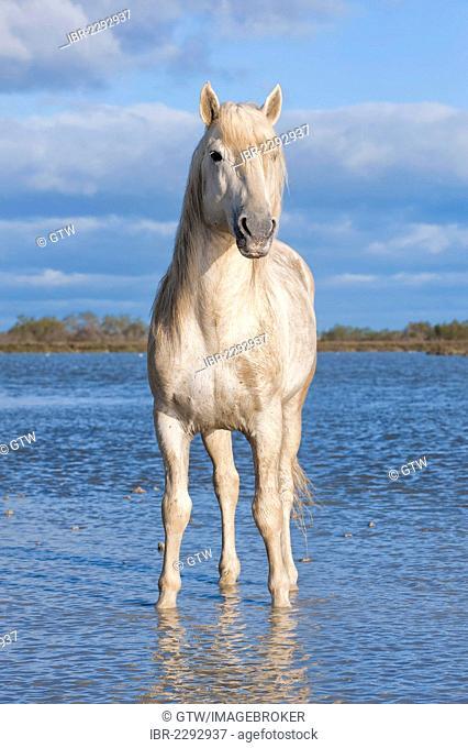 Camargue horse, stallion, Bouches du Rhône, France, Europe