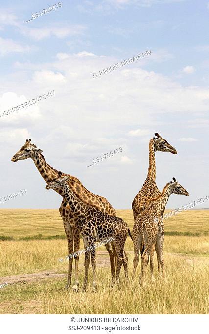 Giraffe (Giraffa camelopardalis). Four individuals standing in savannah. Masai Mara, Kenya