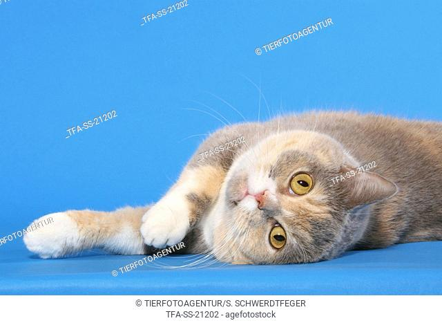 rolling British Shorthair
