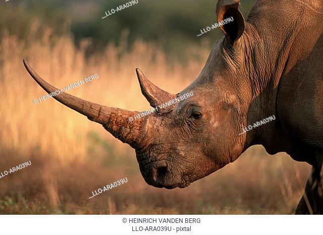 White Rhino Ceratotherium sim Portrait  Pilanesberg National Park, Northwest Province, South Africa