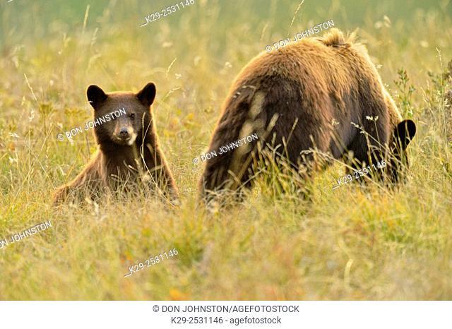 American black bear (Ursus americanus) Cinnamon variety, Waterton Lakes National Park, Alberta, Canada