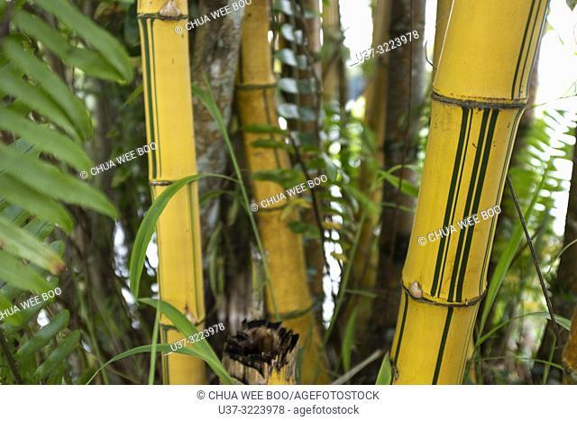 Yellow bamboos at Bau Lake, Sarawak, Malaysia
