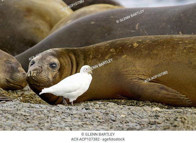 Snowy Sheathbill, Chionis albus, and Elephant Seals, Mirounga angustirostris South Georgia Island