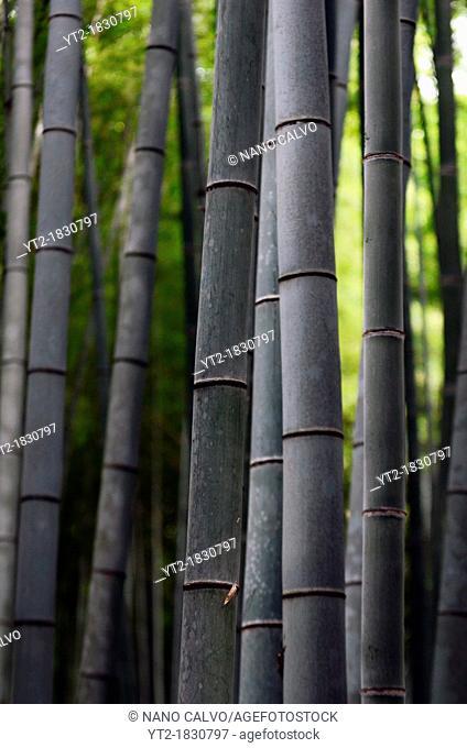 Arashiyama Bamboo Path through the Sagano Bamboo Forest