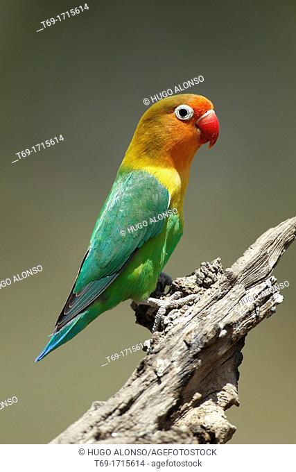 Fischer's Lovebird. Agapornis fischeri