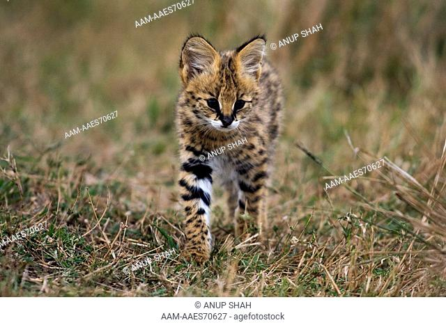 Serval kitten walking through grass (Felis (Leptailurus) serval). Maasai Mara National Reserve, Kenya. Sep 2008