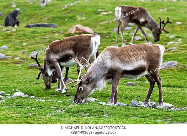 A small group of reindeer Rangifer tarandus in Stromness Bay, South Georgia  MORE INFO A few reindeer from Norway were introduced to the South Atlantic island...