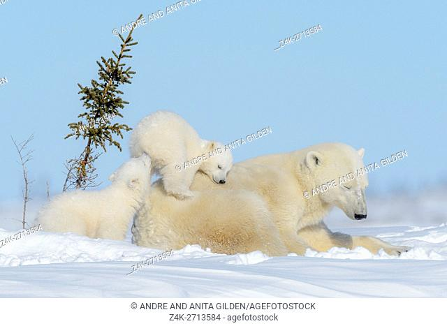 Polar bear mother (Ursus maritimus) lying down with two new born cubs playing on tundra, Wapusk National Park, Manitoba, Canada