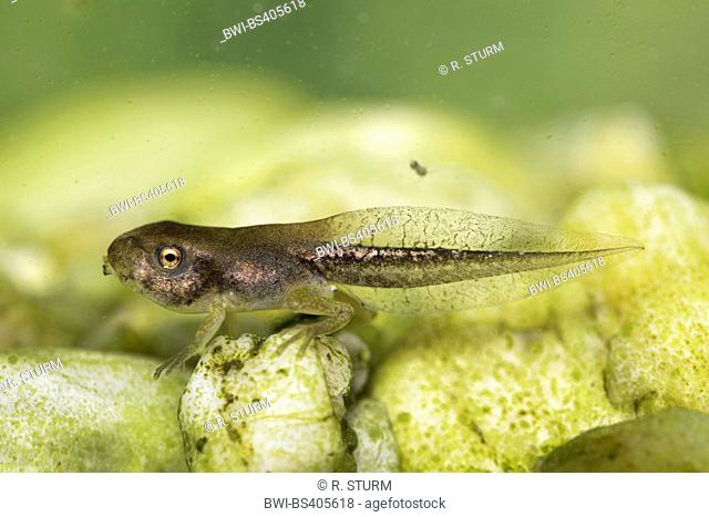 European treefrog, common treefrog, Central European treefrog (Hyla arborea), polliwog with short legs, Germany, Bavaria, Niederbayern, Lower Bavaria