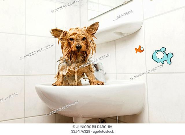 Wet Yorkshire Terrier standing in a sink