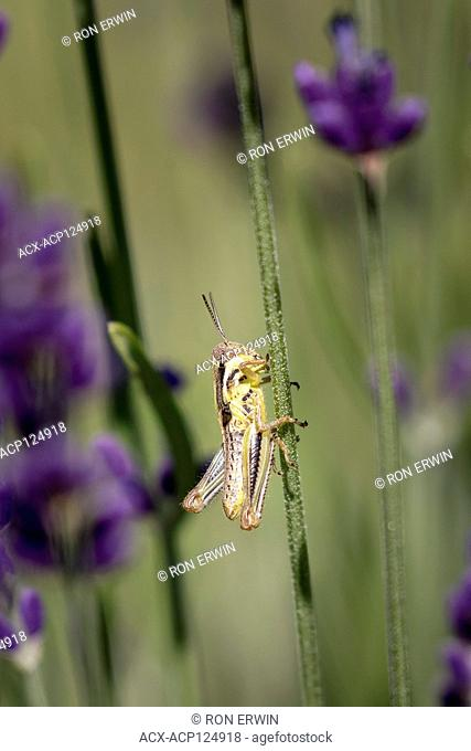 Grasshopper nymph with small wings on Lavender in Ontario, Canada