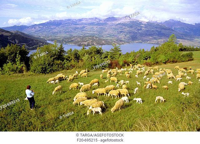 Flock and Lac de Serre-Ponçon in background. Hautes-Alpes, France