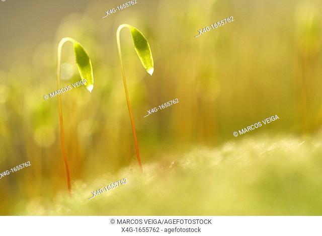 Capillary Thread-moss Bryum capillare