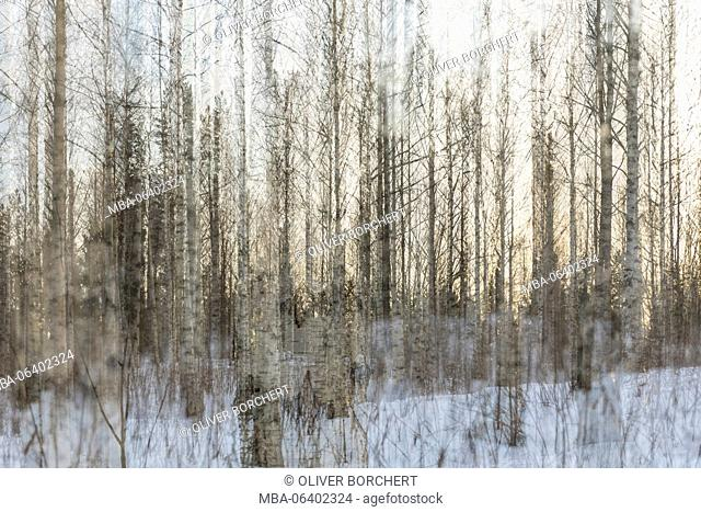 Multiple exposure of forest with birches in winter