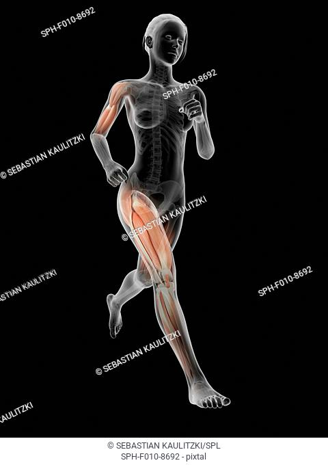 Muscular system of a runner, computer illustration